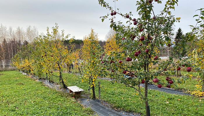 Äpplen från Burträsk.