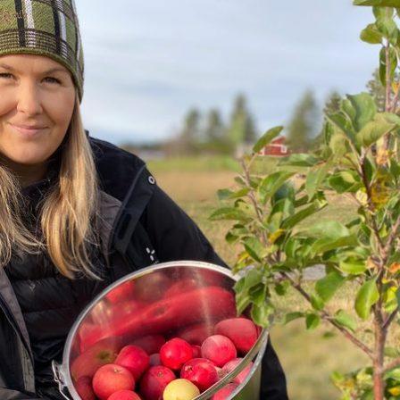 Brännland Cider plockar äpplen