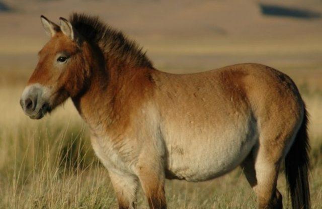 Przewlaksi's häst